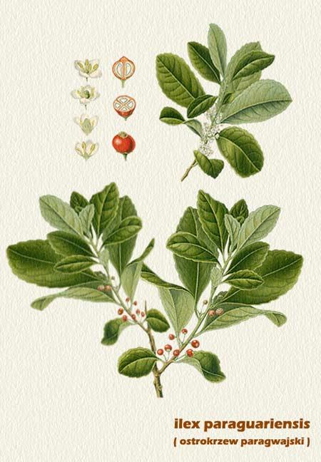 ostrokrzew paragwajski (yerba mate)
