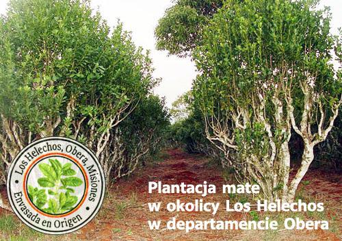 plantacja yerba mate